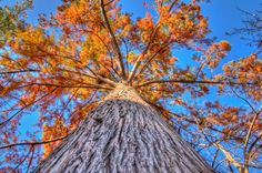 Looking up a Tree  by Ronnie Wiggin on 500px