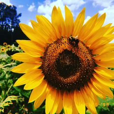 yellow•sunflowers•bees Frozen Characters, Yellow Sunflower, Sunflowers, Bees, Tattoo Ideas, Oc, Anna, Aesthetics, Board