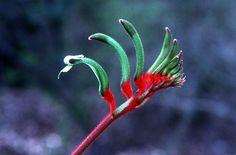 Kangaroo Paw (Anigozanthos manglesii) by Bob Litchfield, murdoch.edu.au: The floral emblem of Western Australia! #Australia #Kangaroo_Paw #Bob_Litchfield #murdoch_edu_au