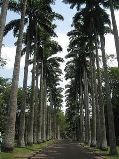 Aburi Botanical Gardens: Alley of palm trees