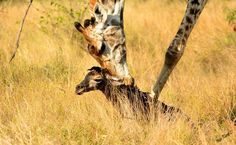 The birth of a baby giraffe. witnessed one in Kwandwe on Easter Sunday !
