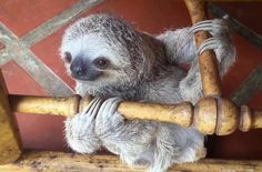 Baby Sloths Turn Rocking Chair Into Their Personal Jungle Gym