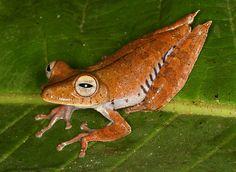 Convict Treefrog (Hypsiboas calcaratus)