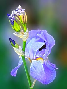 long blooming border iris also listed in my  ebay store
