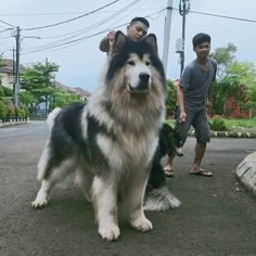 Pet owners from around the world have shared pictures of their adorable Alaskan Malamutes, collected by Bored Panda, to show off the dogs' lively personalities. Giant Alaskan Malamute, Alaskan Malamute Puppies, Malamute Dog, Alaskan Husky, Huge Dogs, Giant Dogs, Worlds Largest Dog, Happy Dogs, Dog Photos