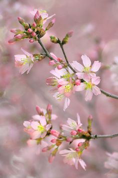 Pink clouds of blossoms