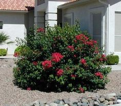 Bougainvillea  is a versatile plant that can be trimmed to look like a bush.