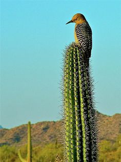 Gila Woodpecker on a Saguaro in Organ Pipe Cactus National Monument