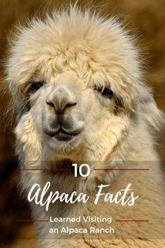 Alpaca facts learned from visiting an alpaca ranch | Idaho Travel | Idaho Trip | Idaho Vacation | Alpaca Fun Facts | Alpaca Funny | Alpaca Hair | Alpaca Fiber | Alpaca Breeding | Alpaca Farm | Alpaca Farming | Alpaca Pet | Alpaca Pet Animals | Alpaca Baby | Raising Alpacas | Raising Alpacas Fiber | Raising Alpacas Wool Alpaca Ranch | #idaho #coeurdalene #US #USA #USTravel #alpaca