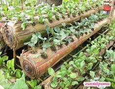 O cultivo de hortaliças no caule da bananeira que tem água e potássio.