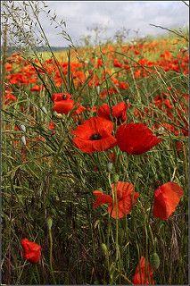 Poppy Field | von Capt' Gorgeous