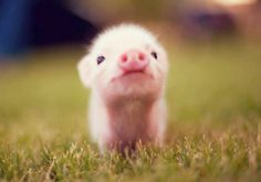 Baby pig((: I know someone who loves piglets!!! Brissa*