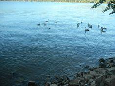 Geese at Lake Collins near Marysville,CA