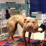 """Era quasi decapitata la povera Palla, una cagnolina presa in cura dalla Clinica Veterinaria Duemari di Oristano. L'hanno trovata denutrita e con un cappio di nylon al collo che le ha provocato un abnorme rigonfiamento della testa. I veterinari l'hanno ribattezzata """"Palla"""". Non si sa se l'animale sia stato maltrattato o se si sia ritrovato…"""