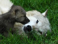 Wolf and pup copyright Carolyn E. Wright
