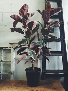 Varigated Ruby - Rubber Plant