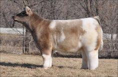 fluffy-cows