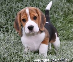 Auburn Beagles - Northern California Beagles and Puppies #beagle