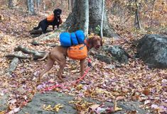 dog wearing backpack with sleeping bag attached