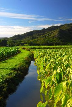 Hanalei, Kauai taro patch. A big part of Hawaiian culture that is interesting to learn about