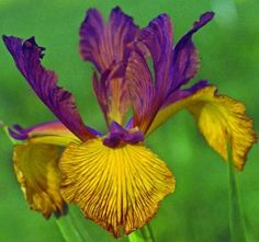 Comanche Acres Iris Gardens - Gower, MO - Twice Best-Spuria Iris