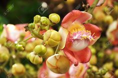 cannonball tree - Google Search Landscape, Fruit, Google Search, Plants, Scenery, Plant, Corner Landscaping, Planets