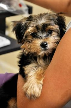 Morkies are absolutely precious! This one looks a lot like our Bentley when he was a puppy!