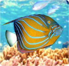 Annularis Angelfish, Blue Ring Angelfish - Pomacanthus annularis