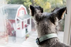 A Dog's Life by Justin Kane #Miniature #Schnauzer Schnauzer Mix, Miniature Schnauzer, Schnauzers, Looking Out The Window, Crazy Cats, Dog Life, Beautiful Boys, Doggies, Puppies