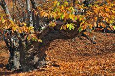 CASTAÑO.  Corpulentos árboles caducifolios, con hojas de margen dentado y frutos envueltos en una cubierta de bracteas espinosas.