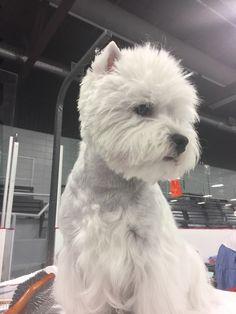 White Puppies, Little Puppies, Baby Puppies, White Dogs, Little Dogs, West Highland White, West Highland Terrier, Cairn Terrier, White Terrier