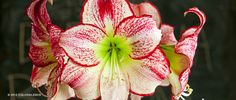 Amaryllis Flamenco Queen   Amaryllis Bulbs for Sale   COLORBLENDS