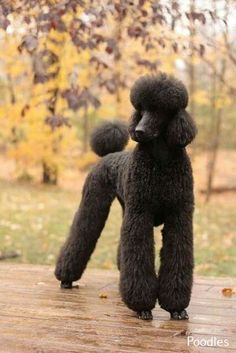 The traits we all admire about the Active Poodle Puppies I Love Dogs, Cute Dogs, Black Standard Poodle, Poodle Haircut, Poodle Cuts, Poodle Grooming, Dog Grooming, Mundo Animal, Shiba Inu