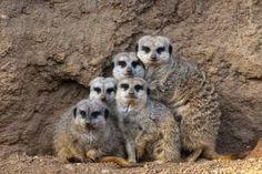 the meerkat mob..