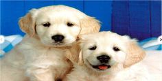 Golden Retriever Puppies believe that no family is complete without a puppy and so we offer Golden retriever puppy breeders for sale at best price. Cute Little Puppies, Cute Puppies, Cute Dogs, Dogs And Puppies, Doggies, Puppy Images, Puppy Pictures, Dog Photos, Cute Dog Wallpaper