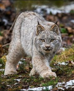 Love these Cats!!! The Magnificent Syberian Lynx