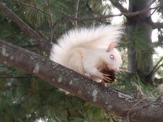 Olney Illinois, home of the white squirrels