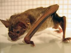 Grounded bats, the wings add an awesome dragon/reptilian touch to a furry creature Bat Photos, Bird Gif, Fruit Bat, Area 3, Vampire Bat, Little Dogs, Wildlife, Wings, Dragon