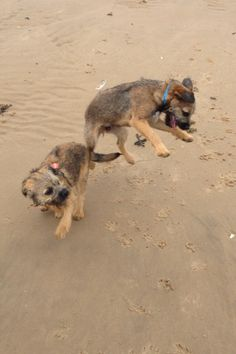 Pip & Ziggy meeting for first time since they left litter. Border Terriers
