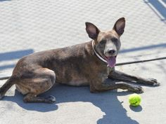 SAFE 5-13-2015 by Eskies Online --- Brooklyn Center GUNNA – A1034584 MALE, BR BRINDLE / WHITE, GERM SHEPHERD / AM PIT BULL TER, 3 yrs OWNER SUR – EVALUATE, NO HOLD Reason MOVE2PRIVA Intake condition UNSPECIFIE Intake Date 04/28/2015
