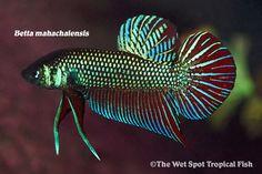 AquaBid.com - Item # fwbettas1441229407 - Mahachai Betta - Betta mahachaiensis - WILD 1.25'' - Ends: Wed Sep 2 2015 - 04:30:07 PM CDT