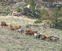 broodmare band Western Photography, Western Art, Wild West, Westerns, Horses, Band, Animals, Sash, Animales
