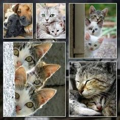 Animals And Pets, Baby Animals, Funny Animals, Cute Animals, Kittens Cutest, Cats And Kittens, Cute Cats, Collages, Good Morning Cat