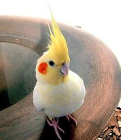 A cute Cockatiel. Also known as Quarrion and  Weiro ..