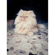 #Rubio #persiancat #redtabby #cat #instacat #instapet