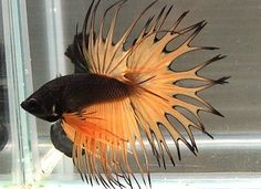 Type of Betta Fish. If you are like me and have a strong passion for freshwater aquariums, you have probably considered incorporating Betta fish to your tank. I'm sure you've heard how wonderful Bettas are and how beautiful they can be. Another reason to Pretty Fish, Beautiful Fish, Animals Beautiful, Colorful Fish, Tropical Fish, Freshwater Aquarium, Aquarium Fish, Poisson Combatant, Aquariums