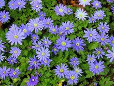 Anemone blanda 'Blue Star' | North American Rock Garden Society