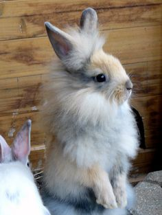 lionhead bunny at attention...