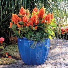 container gardens orange coral | Fresh Look Orange Celosia. One of the showiest annuals around. In a ...