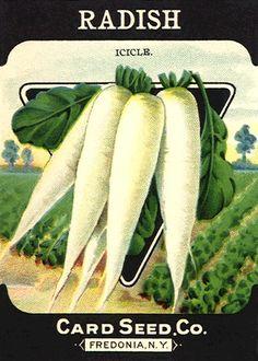 Vintage Seed Packet -White Radish
